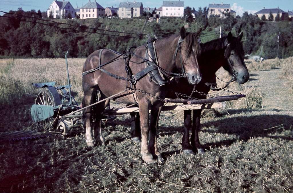 2 hester med slåmaskin på Stavne