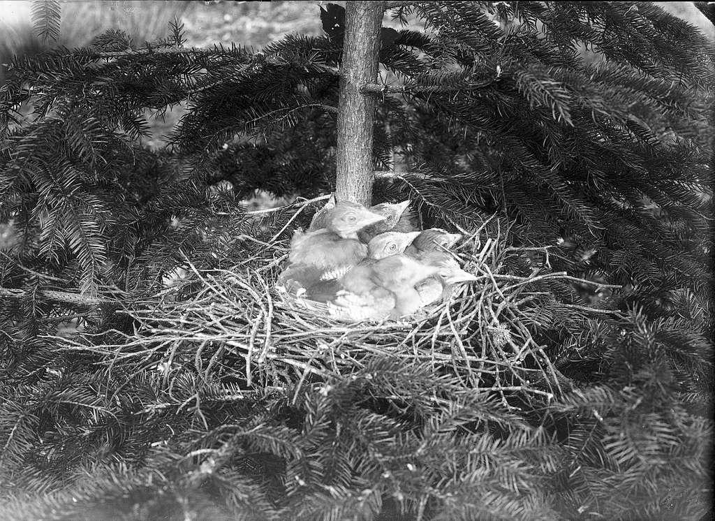Nötskrikeungar i bo